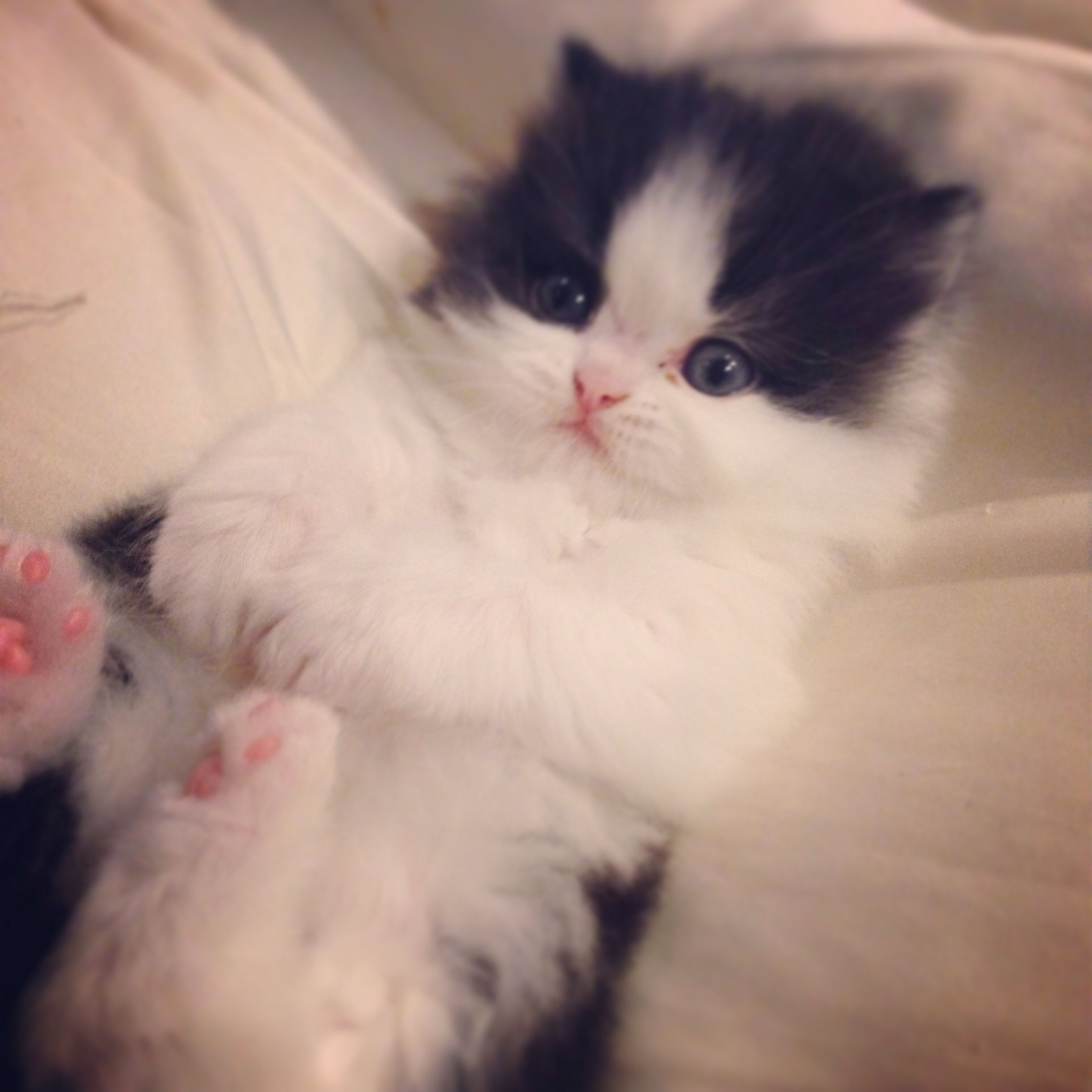 Persian Kittens For Sale In Maine