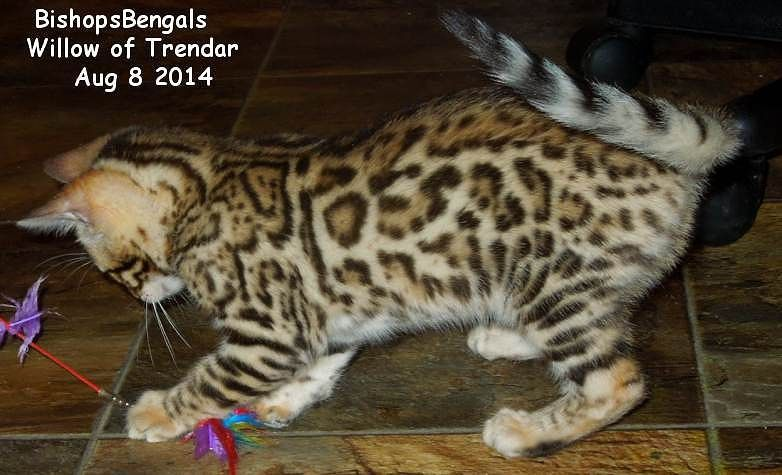 How Much Does A Snow Bengal Cat Cost