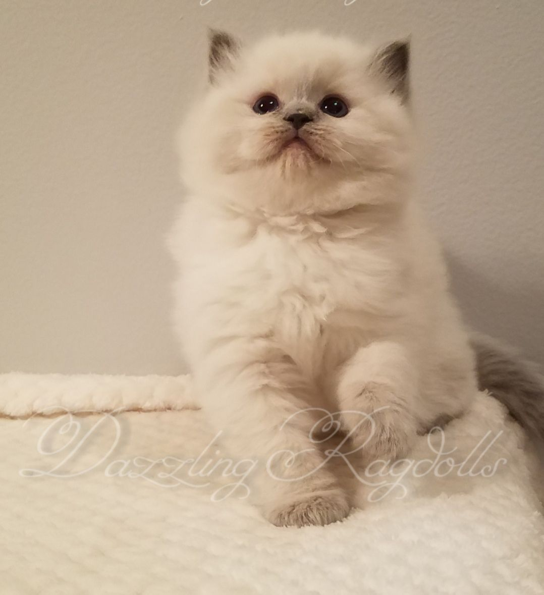 Himalayan Kittens For Sale In Maryland