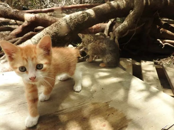 Manx Kittens For Sale Melbourne