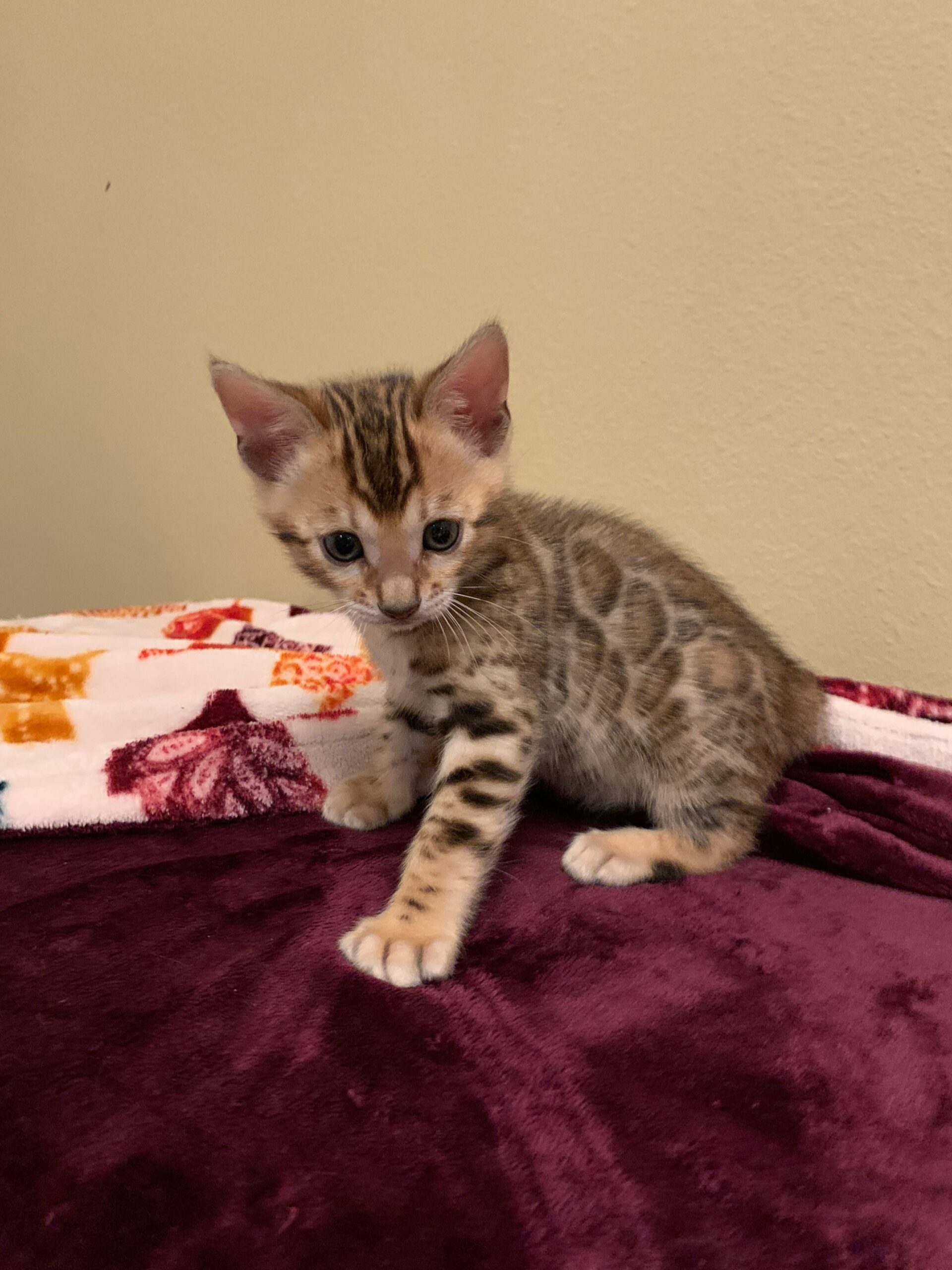 Bengal Kittens For Sale Seattle