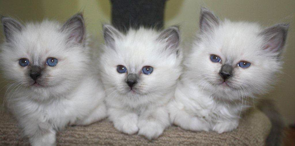 Tonkinese Kittens For Sale Nsw