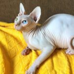 Bambino Kittens For Sale Canada