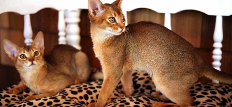 Abyssinian Kittens For Sale Usa