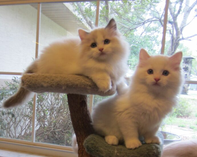 Ragdoll Kittens In Florida For Sale