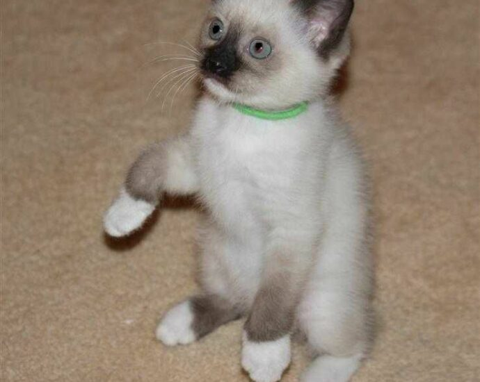 Siamese Kittens For Sale Florida
