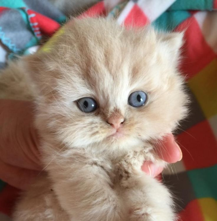 Persian Kittens For Sale In Ohio