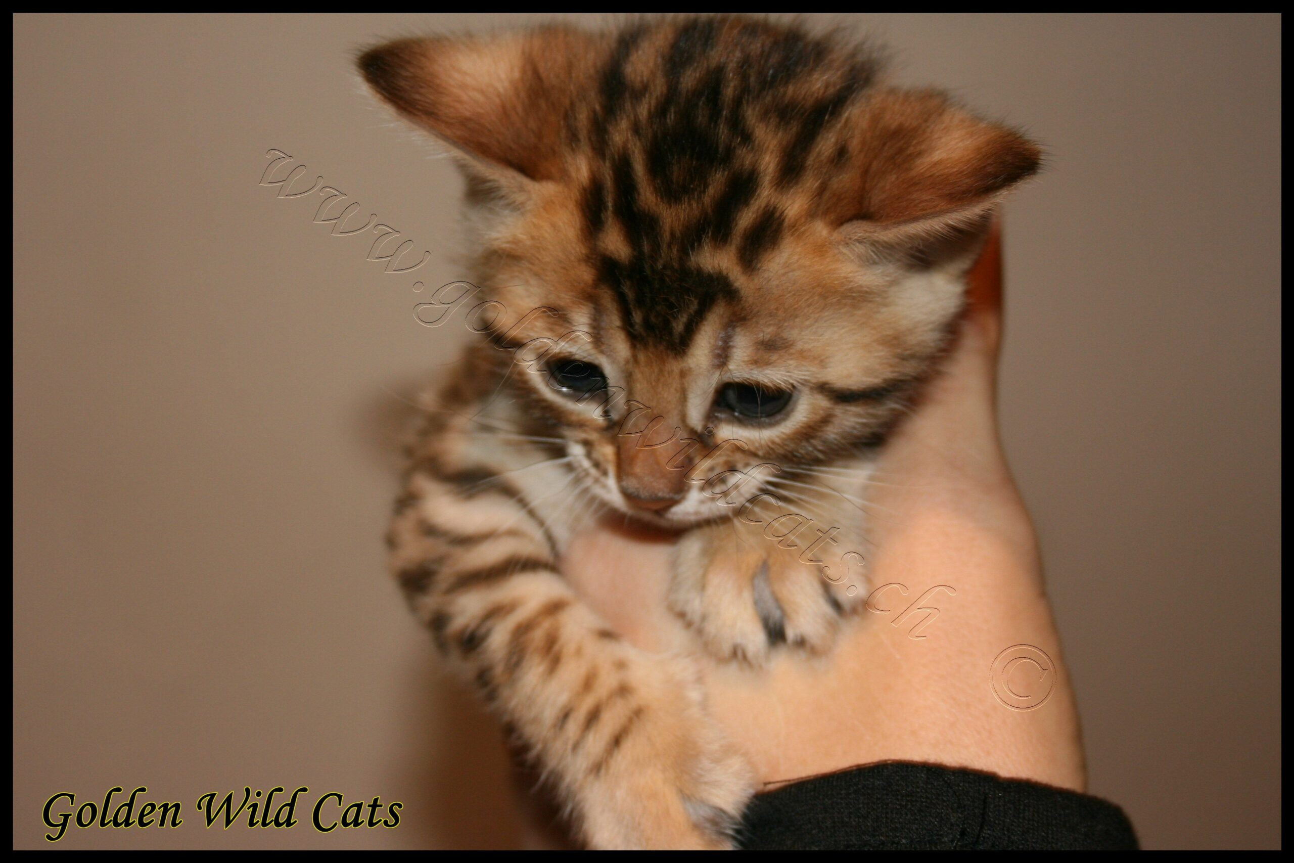 Bengal Cats For Sale In Canton Ohio