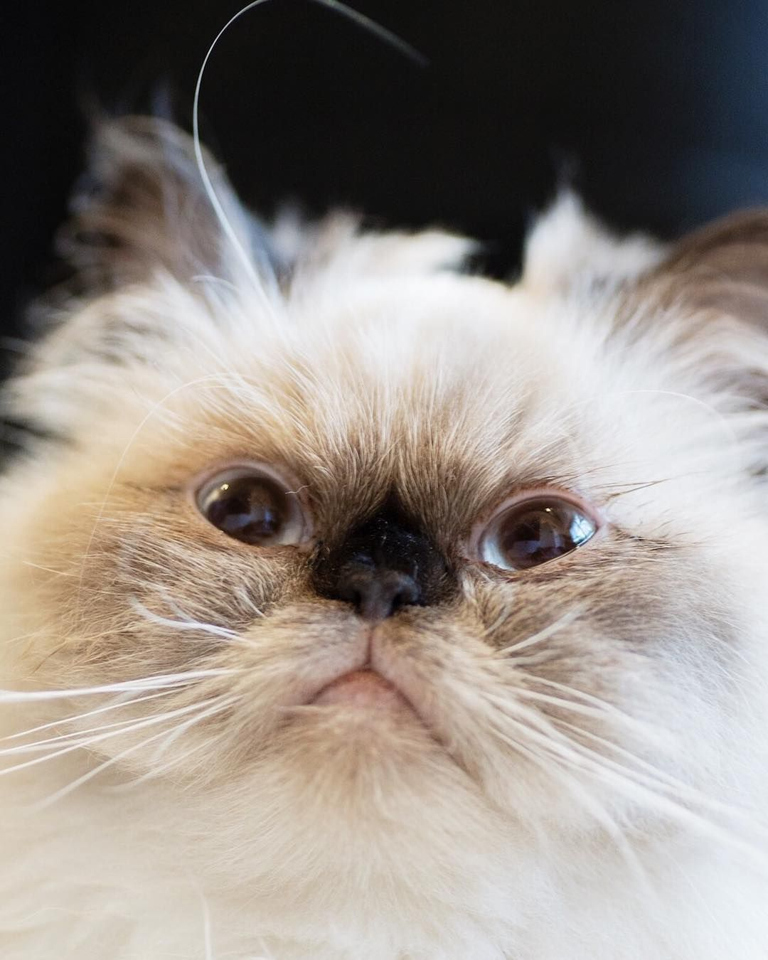 Himalayan Kittens For Sale Ohio