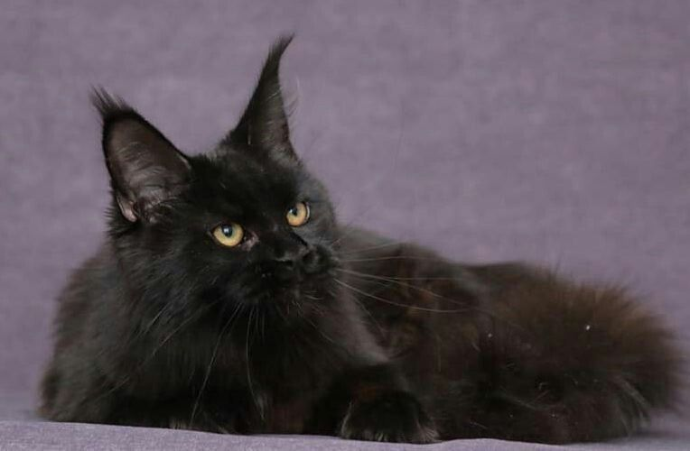 Black Maine Coon Kittens For Sale Oklahoma