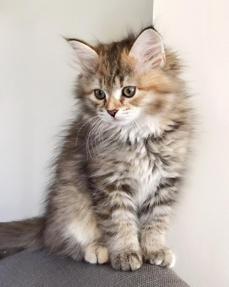 Siberian Kittens Available Now