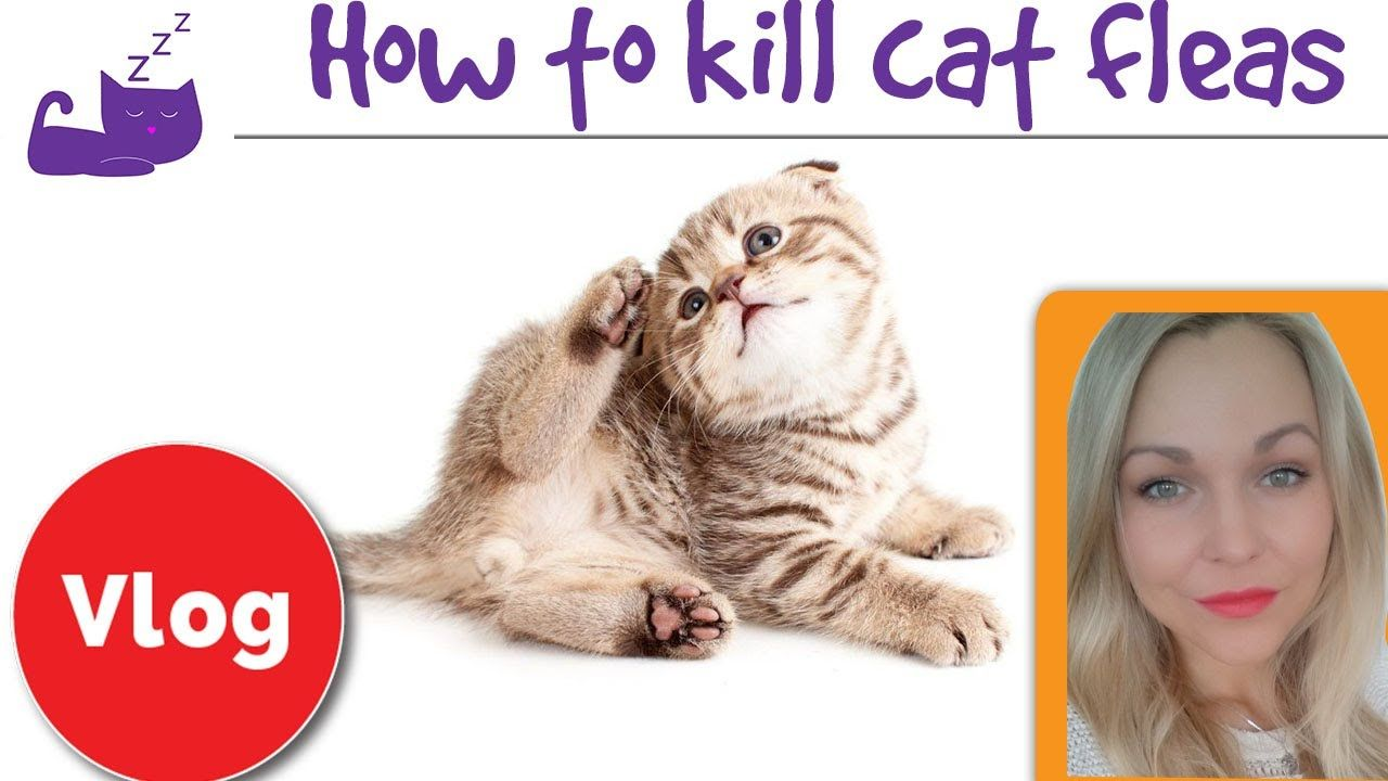 How To Get Rid Of Fleas On My Baby Kitten