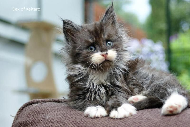Maine Coon Kittens For Sale Near Me Craigslist