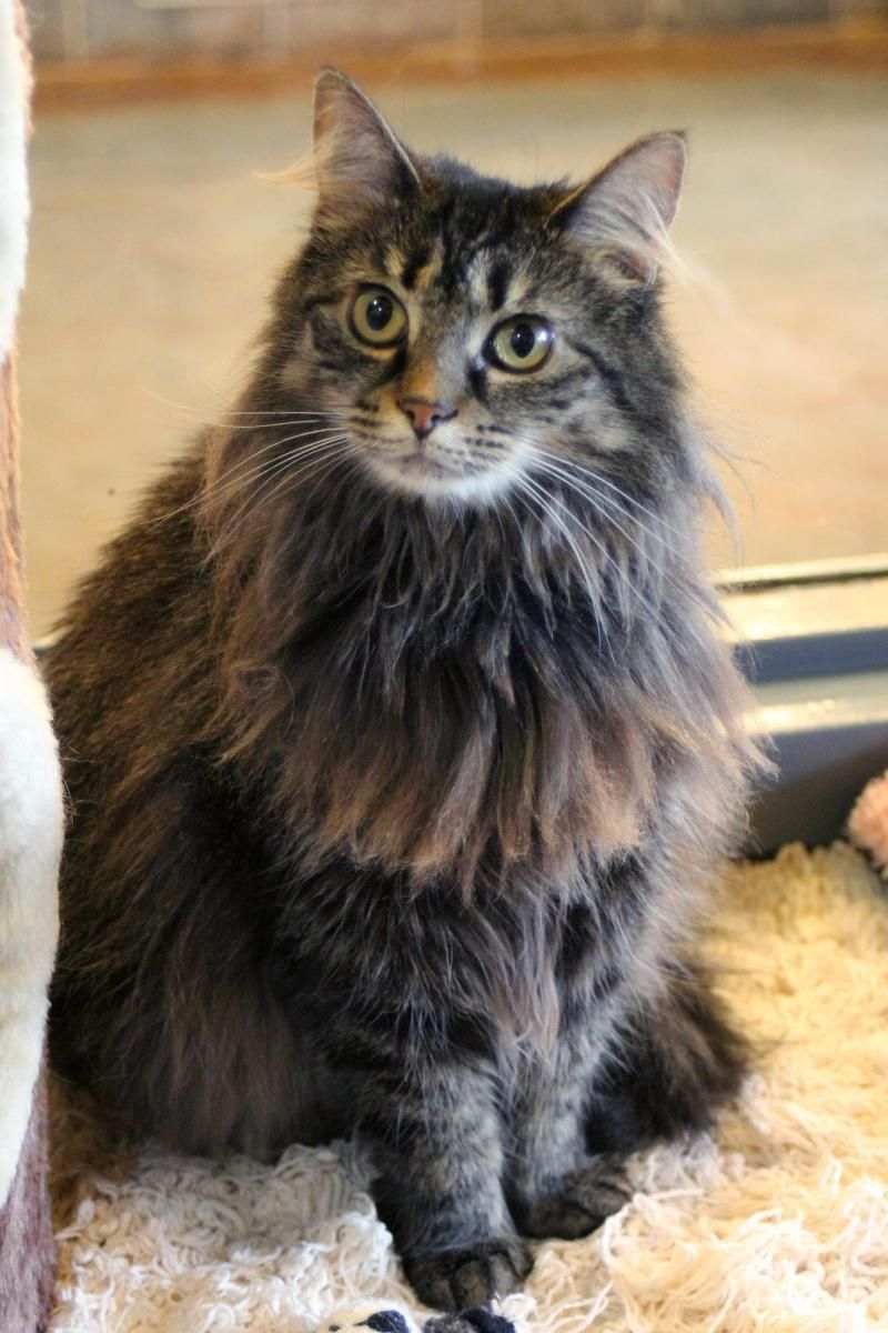 Maine Coon Kittens For Sale Ga
