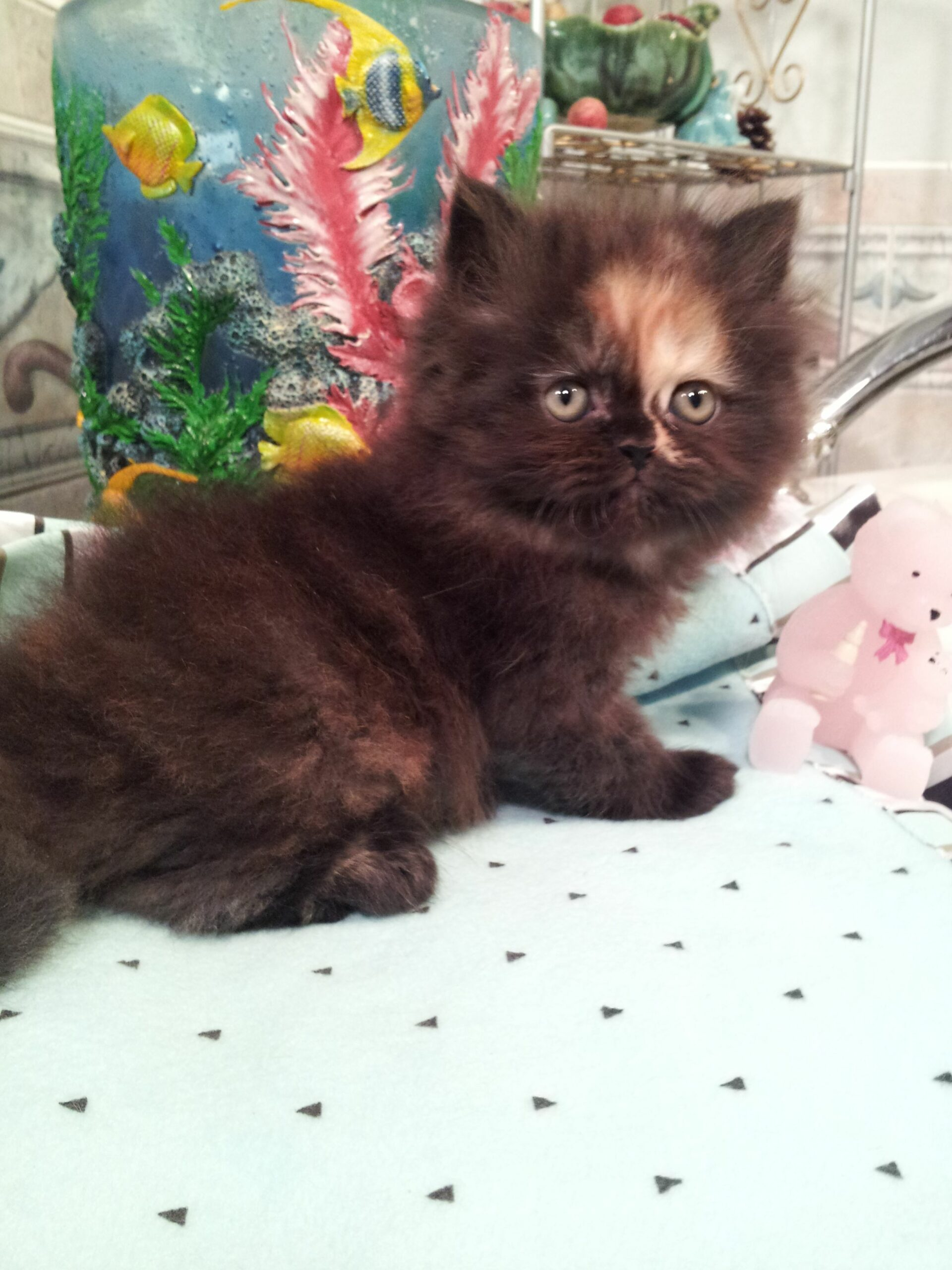 Persian Kittens For Sale Charlotte Nc