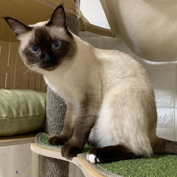 Siamese Cat For Sale In Pangasinan
