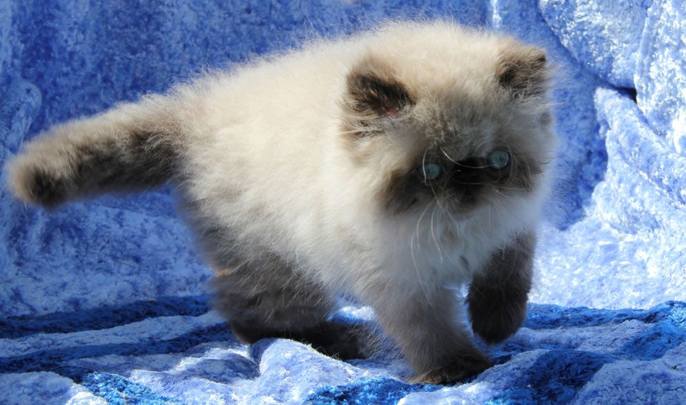 Persian Kittens For Sale In Nh