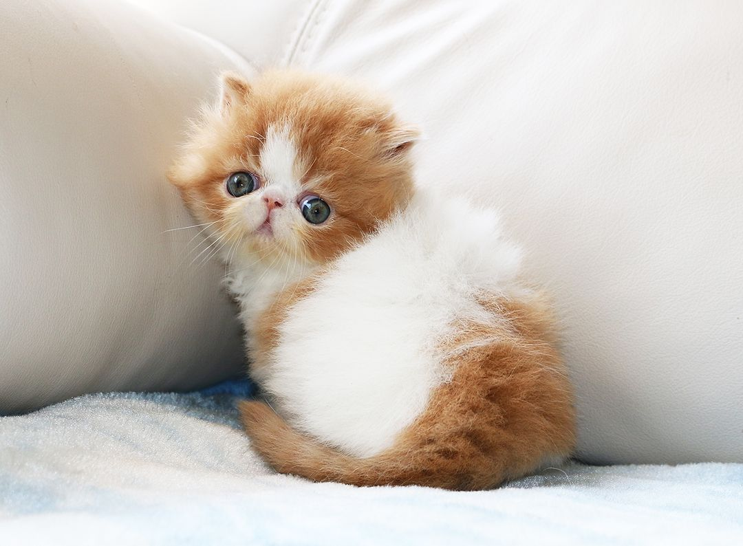 Persian Kittens For Sale Ontario