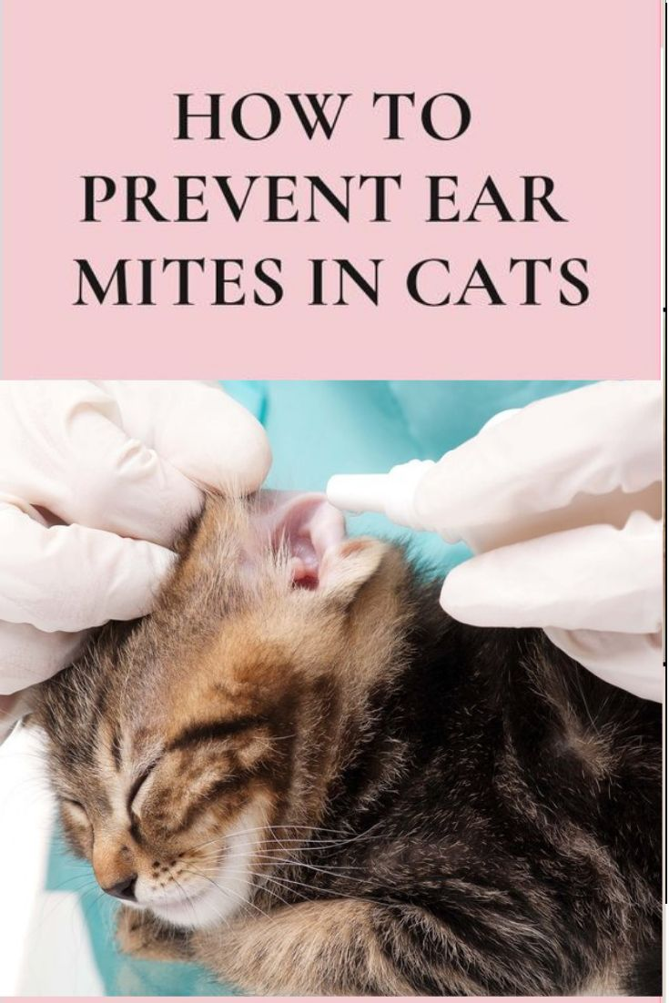 Ear Mites In Cats Pictures