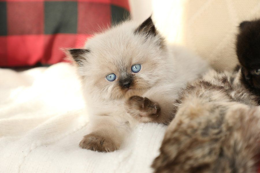 Doll Face Persian Kittens For Sale Uk