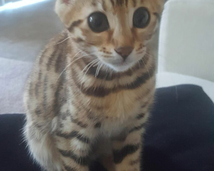 Silver Bengal Kittens For Sale Florida