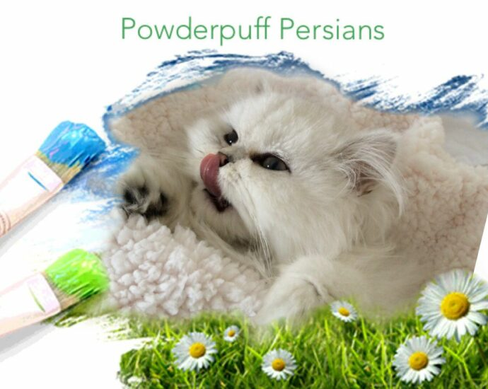 Doll Face Persian Kittens For Sale California